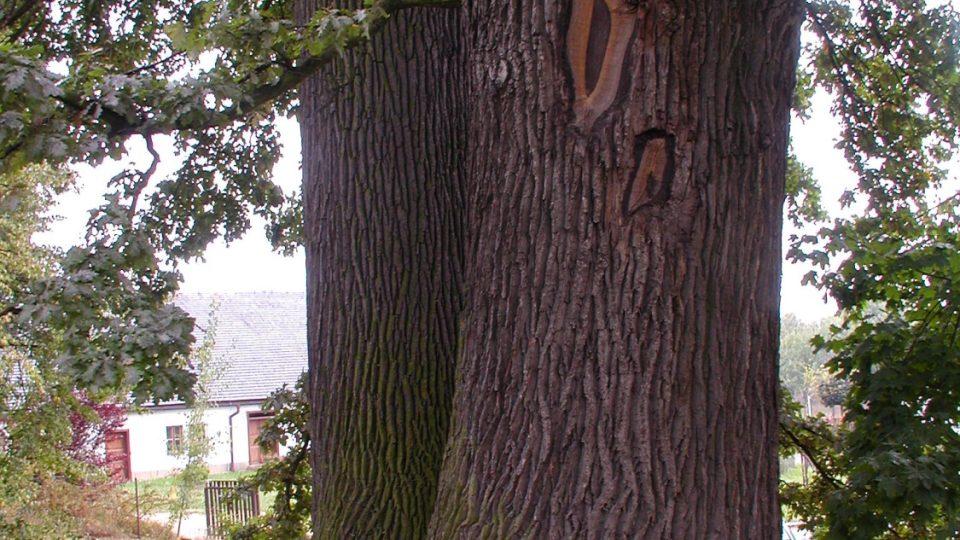 Bludov - starý dub v zámeckém parku
