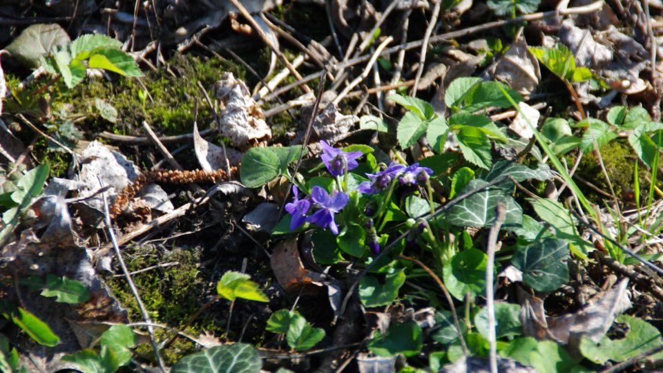 Na jaře rozkvetou lesy kolem rybníků jarními květinami