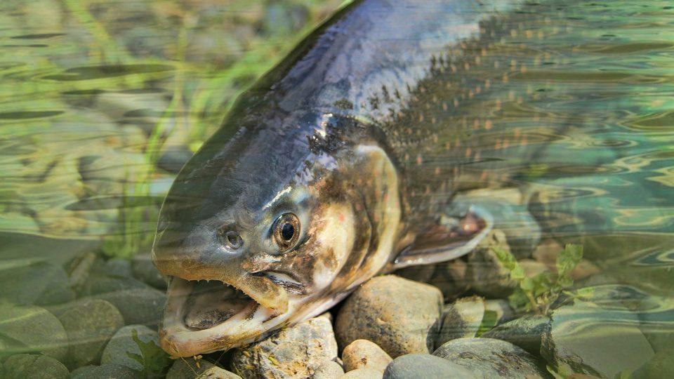 ryba, pstruh, řeka