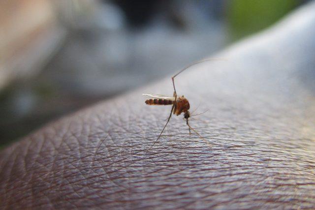 Komár, ilustrační foto