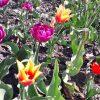Tulipány v olomouckém parku (Ilustrační foto)
